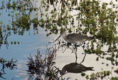 Willet bird. In the wetland Royalty Free Stock Photos