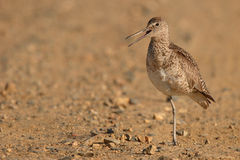Willet Calling Loudly Stock Photos