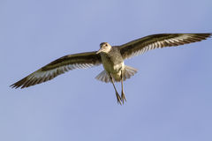 Willet (Catoptrophorus semipalamatus) flying Royalty Free Stock Photo