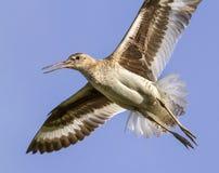Willet (Catoptrophorus semipalamatus) flying Stock Photos