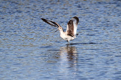 Willet (Catoptrophorus semipalmatus) Royalty Free Stock Photo