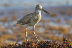 Willet (Catoptrophorus semipalmatus), catching insects in drift seaweed along the ocean coast. Royalty Free Stock Photos