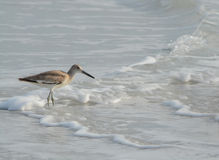 Willet catoptrophorus semipalmatus feeding on Indian Rocks beach in Florida, USA Royalty Free Stock Images