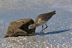 Willet (Catoptrophorus semipalmatus) feeding on a sea sponge Stock Photography
