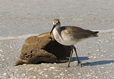Willet (Catoptrophorus semipalmatus) feeding on a sea sponge Royalty Free Stock Photo