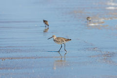 Willet Stock Images