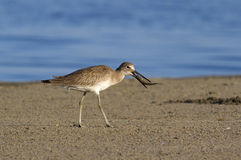 Willet (Catoptrophorus semipalmatus), foraging along the ocean coast. Stock Photography