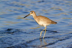 Willet (Catoptrophorus semipalmatus), foraging along the ocean coast. Royalty Free Stock Photos