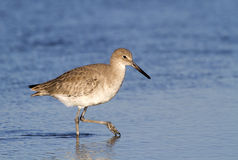 Willet (Catoptrophorus semipalmatus), foraging along the ocean coast Royalty Free Stock Images