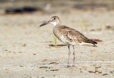 Willet (Catoptrophorus semipalmatus) on the ocean coast Royalty Free Stock Photo