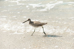 A Willet (catoptrophorus semipalmatus) on a sand b Royalty Free Stock Photography