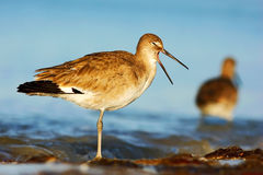 Willet, Catoptrophorus semipalmatus, sea water bird in the nature habitat. Animal on the ocean coast. Bird with open bill. Bird in Royalty Free Stock Photography
