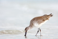Willet, Catoptrophorus semipalmatus, sea water bird in the nature habitat. Animal on the ocean coast. Bird in the sand beach, beau Royalty Free Stock Photos