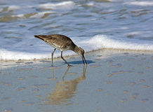 Willet (Catoptrophorus semipalmatus) Stock Photography