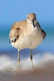 Willet Catoptrophorussemipalmatus, havsvattenfågel i naturlivsmiljön Djur på havkustfågeln i sandstranden, friare arkivbild