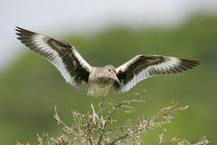 Willet on Cedar branch Stock Photos