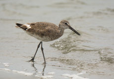 Willet Stock Photography