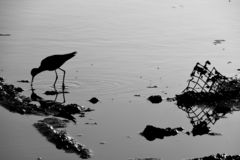 Willet and Debris at the River`s Edge royalty free stock images