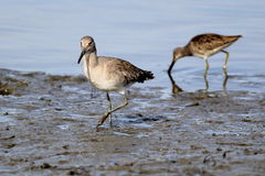 Willet and Dowitcher. Two shorebirds, a Willet and a Dowitcher on the beach Stock Photo