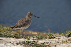 Willet, eastern subspecies. Willet (Catoptrophorus semipalmatus semipalmatus), Eastern subspecies, in breeding plumage standing in sand dune at the water's edge Royalty Free Stock Images