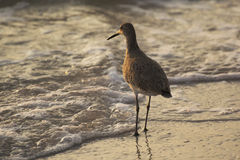 Willet ed onde Immagine Stock