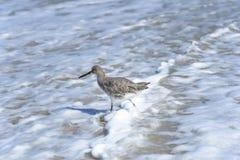 Willet fågel som går och jagar på den Florida stranden Royaltyfri Bild