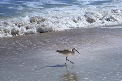 Willet fågel som går och jagar på den Florida stranden Arkivbild