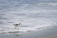 Willet fågel som går och jagar på den Florida stranden Arkivfoton