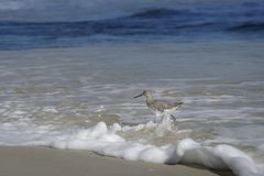 Willet fågel som går på den Florida stranden Royaltyfri Fotografi