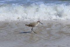 Willet fågel som går på den Florida stranden Arkivfoto
