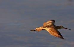 Willet in flight in Saskatchewan Royalty Free Stock Photos