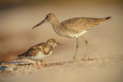 Willet in Florida Royalty Free Stock Photos