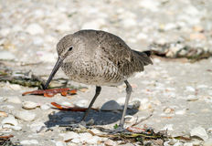Willet - Florida-Ufer-Vogel stockfoto
