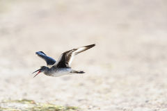 Willet flying low Royalty Free Stock Images