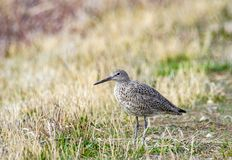 Willet. A willet in a grassy meadow at Camas National Wildlife Refuge near Hamer, Idaho Royalty Free Stock Image