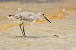 Willet Hunting Royalty Free Stock Image