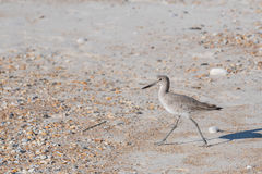 Willet Hunts on the Beach Royalty Free Stock Image