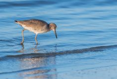 Willet Inspects the Water. Willet Inspects the Rippling Water of Shallow Surf Royalty Free Stock Images