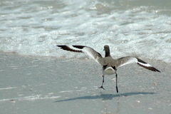 Willet landing Royalty Free Stock Photos