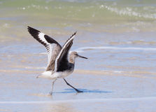 Willet landning på stranden arkivfoton