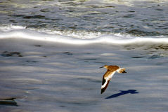 Willet lata nad Floryda plażą obraz stock