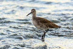 A willet searches for food Royalty Free Stock Photography