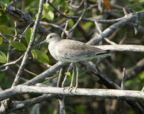 Willet in Mangrove Royalty Free Stock Photography