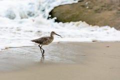 Willet na plaży Fotografia Stock