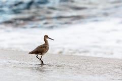 Willet na praia imagens de stock royalty free