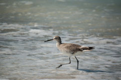 Willet On A Florida Beach Stock Photography