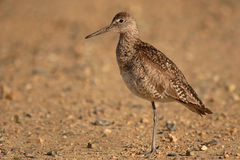 Willet On One Leg. A Willet standing on one leg and looking away Stock Image