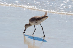 Willet op Clearwater-strand Stock Foto's