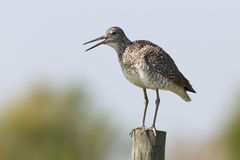 Willet Perched on a Fence Post Royalty Free Stock Images