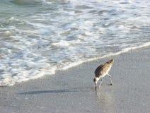 Willet plaży ptak Zdjęcia Royalty Free